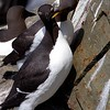 Common Murre Pair Interacting