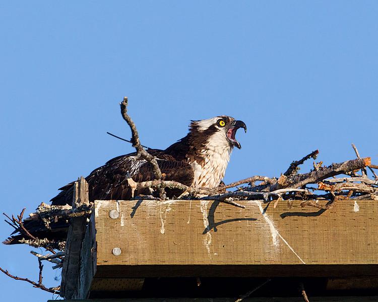 Osprey on Nest Calling