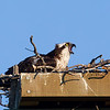 Osprey on Nest Calling