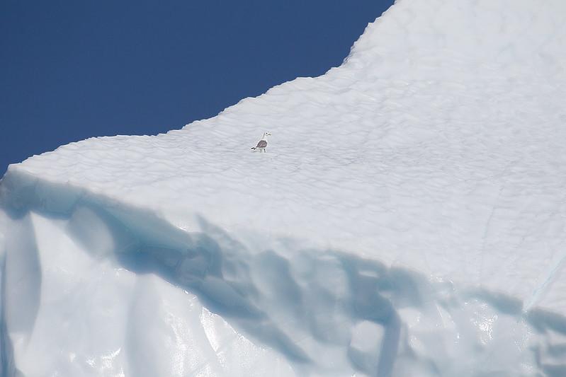 Black legged Kittiwake on Top of a Huge Iceberg
