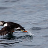 Atlantic Puffin Taking off from Ocean