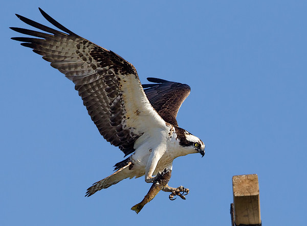 Osprey Holding Fish about to Land on Webcam Perch