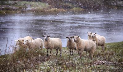 Sheep on Boyne riverbank at Newgrange-1-IMG_3025