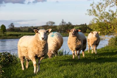 Sheep at Newgrange-IMG_0067