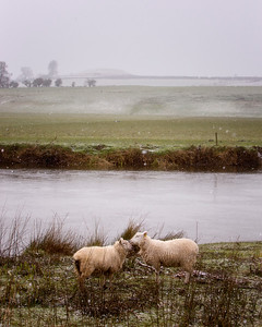 Sheep in the Snow-IMG_3000