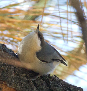 Pigmy Nuthatch  Cuyamuca State Park  2012 10 20 (1 of 1).CR2