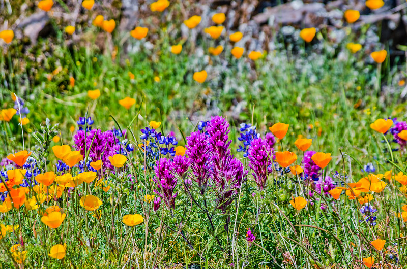 North Table Mountain wildflowers #89