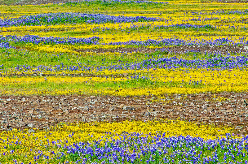 North Table Mountain wildflowers #111