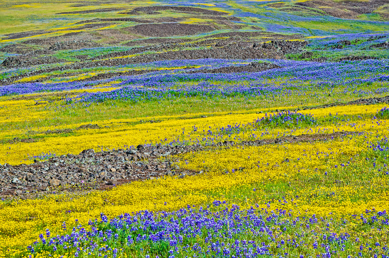 North Table Mountain wildflowers #16-Edit