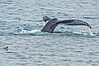 Humpback on Moss Landing Whale Watch 8-5-15 #21