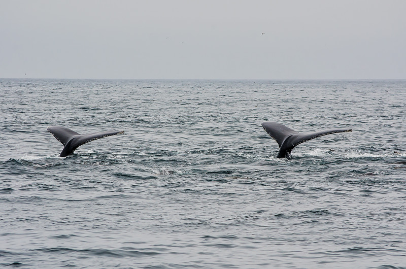 Humpback on Moss Landing Whale Watch 8-5-15 #37