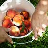 08.24 peach picking