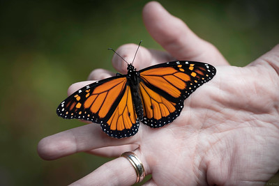 Monarch Butterfly Release