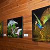 Gallinule Balance, Nesting Dispute, Passion Hummingbird