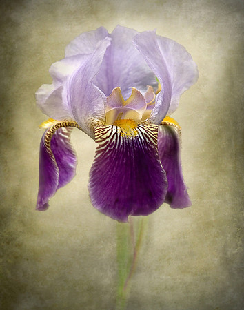 """""""Inner Light"""" was honored by second place in the juried show at Southeast Gallery. It is presently in the exhibit at the New Palm Beach Photographic Centre """"Infocus Exhibit"""" http://www.workshop.org/museum_exhibits.html This was created and dedicated to a Japanese pholosopher Mokichi Okada who felt flowers have the power to heal by raising the spirit of the viewer ."""