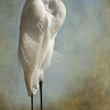 MMoore_The Royal Egret_3