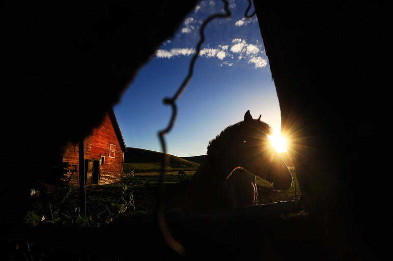 A horse grazes by a farmhouse in Moscow, Idaho on June 14, 2017.