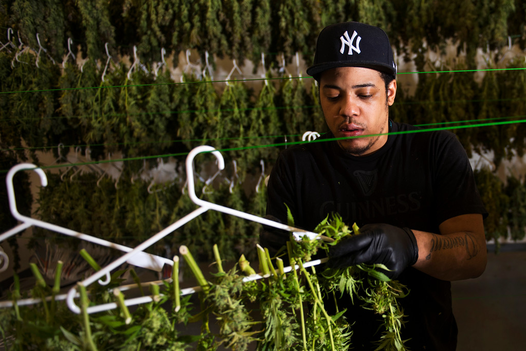 Roland Hughes of Dorchester, Massachusetts prepares and hangs marijuana plants at the Ermont inc. grow house and marijuana dispensary in Quincy, Massachusetts on March 29, 2017.