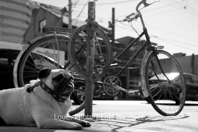 March 22, 2009<br /> <br /> Another stroll down Queen St West and came across this cute dog waiting patiently for its master.  It had the tip of its tongue comfortably sticking out of its mouth as I snapped a blind shot holding my camera close to the ground.  I shot 4 frames in rapid succession with the focus point slightly left of centre and lucked out with one.  <br /> It definitely pays to practice shooting without looking through the viewfinder.