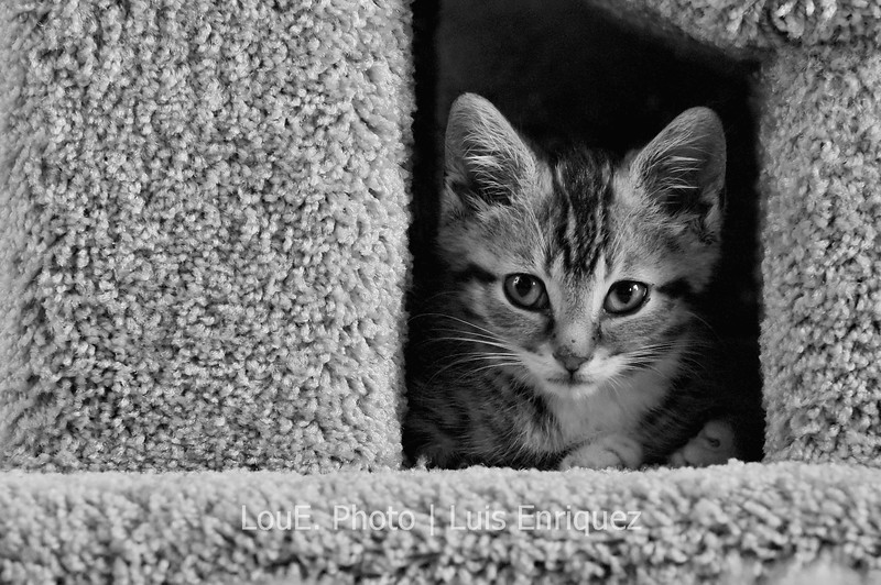 September  11, 2009<br /> <br /> Well he finally made it inside his Cat Condo and as you can see he is by the doorway looking a little proud but a little confused as well.  Gillespie has yet to make it to the upper patio but I guess he's enjoying one level at a time since its all his.