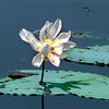 Lilly pad blooms on Caddo Lake. Kevin Green