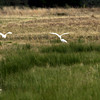 White cranes take advantage of the Sun as they frolic in the marsh land along Texas FM 1845 Thursday December 27, 2001 in Longview. Kevin green
