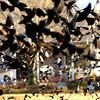 Black birds take flight in a field recently in East Mountain. Kevin green