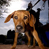 Suey, a rhodesian ridgeback, checks out the sites at street level while his owner, David Mayes, of Shreveport, checks out everything else during Paws on the Bayou in Jefferson Saturday March 29, 2003. Les Hassell