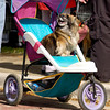 Pekingnese, Sally Sue, waits on her chauffeur, Randy Hardy, during Paws on the Bayou in Jefferson Saturday March 29, 2003. Les Hassell