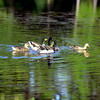 Ducks play at a pond. Ricardo B. Brazziell