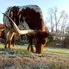 Gregg County Constable Jim Montgomery's Texas Longhorn steer named John Henry at his home north of  Longview. Kevin Green