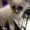 A kitten plays at petco ,Saturday, July 31,2004 during a pick of the litter adoption program. Ricardo B. Brazziell