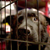 A mix Labrador sit in his cage at petco Saturday during a pick of the litter adoption program. Ricardo B. Brazziell
