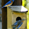 A male and a female Bluebird investiagte new living quarters Tuesday March 30, 2004 off Windy Lane in Harrison County. Kevin Green