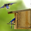 A male Bluebird with one leg, flys off the top of the birdhouse as the female make a nest at Jarol Walls home off Windy Lane Monday April 5, 2004 in Harrison County. Kevin Green