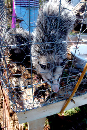 A Possum caught for the Possum Festival in Rhonesboro, Texas climbs down a banch in a cage while on display on Saturday, October 30, 2004. (Courtney Case/News-Journal Photo)