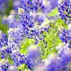 A patch of bluebonnets or Lupinus texensis on Monday, April 2, 2007 at the Longview Masonic Library and Museum. (Les Hassell/News-Journal Photo)