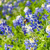 A bee buzzes a bluebonnet or Lupinus texensis on Monday, April 2, 2007 at the Longview Masonic Library and Museum. (Les Hassell/News-Journal Photo)