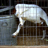 """Sid and Eva Greer have all kinda of animals at Greer Farms west of Daingerfield, including a goat named Floppy. Sid calls Floppy an """"educated goat,"""" because if given the chance, Floppy will nose the lid off the trash can and help himself to some food.<br /> (scott from video)"""