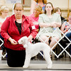 Handler Tracey Gustavson shows a bedlington terrier named Jasmine during the Longview Kennel Club hosted AKC Licensed All Breed Dog Show, on Saturday July 30, 2011, at the Maude Cobb Convention Center. (Michael Cavazos/News-Journal Photo)