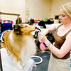 Ashlie Whitmore preps a rough collie named Gucci for show during the Longview Kennel Club hosted AKC Licensed All Breed Dog Show, on Saturday July 30, 2011, at the Maude Cobb Convention Center. (Michael Cavazos/News-Journal Photo)