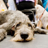 Ziva an Irish wolfhound takes a break form the action during the Longview Kennel Club hosted AKC Licensed All Breed Dog Show, on Saturday July 30, 2011, at the Maude Cobb Convention Center. (Michael Cavazos/News-Journal Photo)