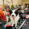 A border collie named Gucci patiently awaits show time during the Longview Kennel Club hosted AKC Licensed All Breed Dog Show, on Saturday July 30, 2011, at the Maude Cobb Convention Center. (Michael Cavazos/News-Journal Photo)