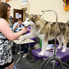 Andrea Casterline grooms her Alaskan Malamute, Sable, Sunday, July 31, 2011 at the Longview Kennel Club's All Breeds Show at the Maude Cobb Convention and Activity Center. (Les Hassell/News-Journal Photo)