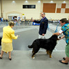 A judge narrows the field Sunday, July 31, 2011 at the Longview Kennel Club's All Breeds Show at the Maude Cobb Convention and Activity Center. (Les Hassell/News-Journal Photo)