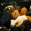 Livestock at the Longview Livestock Sale Barn on Thursday March 31, 2011. (Michael Cavazos/News-Journal Photo)
