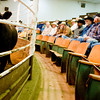 Livestock being auctioned off at the Longview Livestock Sale Barn on Thursday March 31, 2011. (Michael Cavazos/News-Journal Photo)