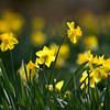 Daffodils Wednesday, Feb. 29, 2012 at Mrs. Lee's Daffodil Gardens outside of Gladewater. (Les Hassell/News-Journal Photo)