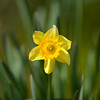 Daffodil Wednesday, Feb. 29, 2012 at Mrs. Lee's Daffodil Gardens outside of Gladewater. (Les Hassell/News-Journal Photo)