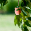 Peaches from McPeak Orchards on Wednesday, June 20, 2012. (Michael Cavazos/News-Journal Photo)